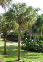 Palm Tree Care Florida Landscaping Today