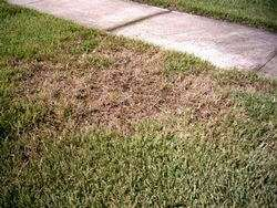 St. Augustine Grass Chinch Bug Infestation