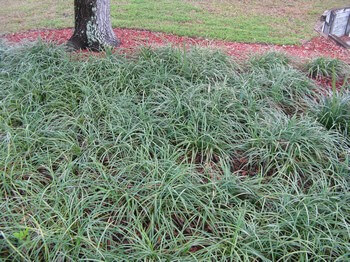 Ground Cover Plants Florida Landscaping Today