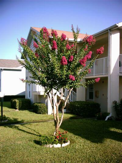 Crape Myrtle Tree Care Florida Landscaping Today