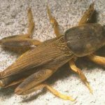 Florida Mole Cricket