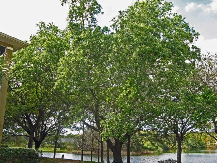native florida trees